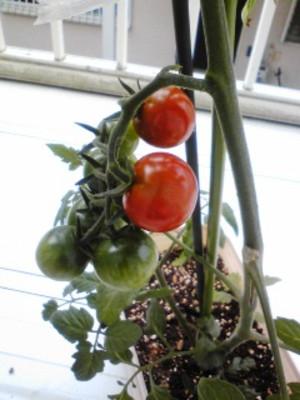 Tomato3_3